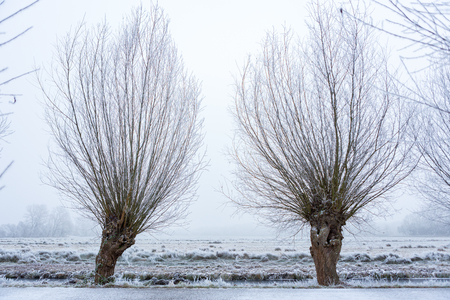 Pollard willows on a ditch for a frozen meadow in the Amsterdamse Bos.