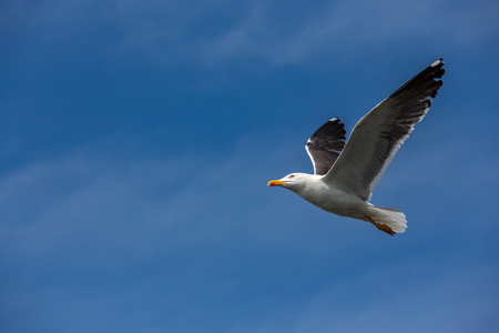 A seagull, with orange beak on the way in the blue sky