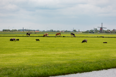Cows and sheep on a Dutch grassland with windmills. Stockfoto