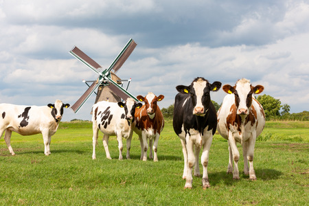 5 cows in front of a historical windmill in Old Ade. Stockfoto
