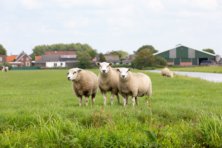 3 staring white sheeps in a grass pasture farmland in the village of Oud Ade the Netherlands