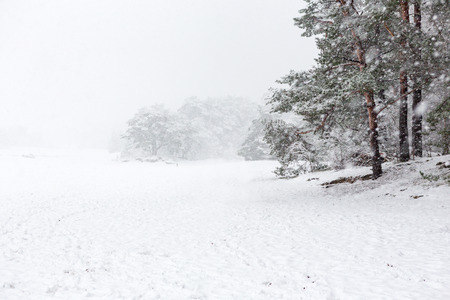 Heavy snowing and pine trees on the Soesterduinen in the Netherlands. Stockfoto