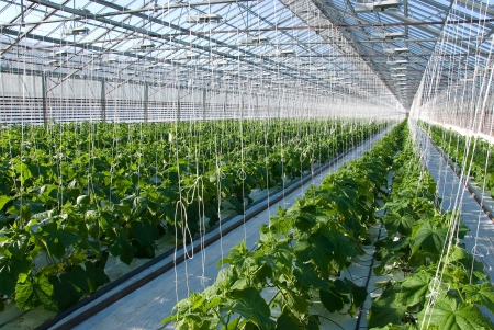 A shot of cucumber plants growing inside a greenhouse photo