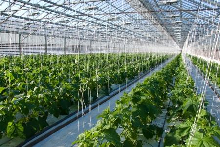 growing inside: A shot of cucumber plants growing inside a greenhouse