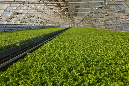 Covered greenhouse with two beds of lettuce Archivio Fotografico