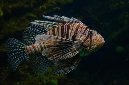 Pterois volitans. Red lionfish aquarium fish. Beautiful and dangerous Lionfish.