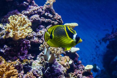 Raccoon butterflyfish sea fish. Tropical yellow-green fish among corals
