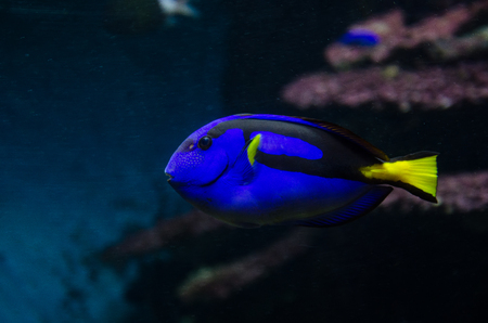 Blue tang, Paracanthurus hepatus, regal blue tang, palette surgeonfish. A popular fish in marine aquariam Imagens