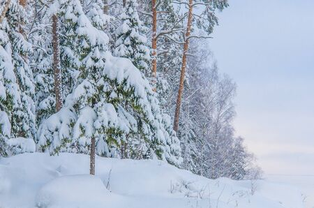 Winter forest. Pines and firs covered with snow. Karelia, Russia