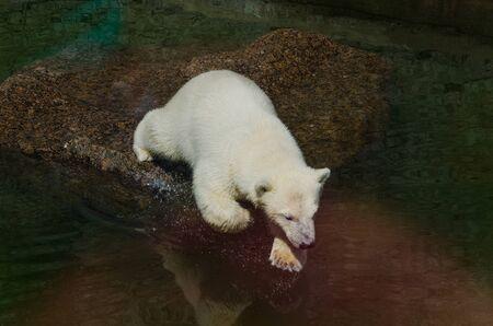 Saint-Petersburg, Russia, Augest 2019: Polar bear walks in Saint-Petersburg zoo