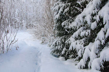 Winter forest. Pines and firs covered with snow. A path among the trees covered with snow