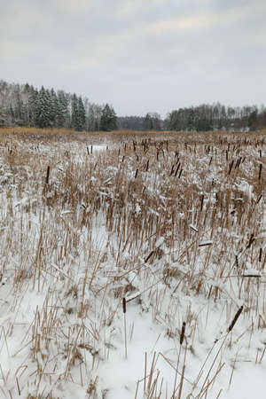 winter Gulf of Finland, overgrown with cattail