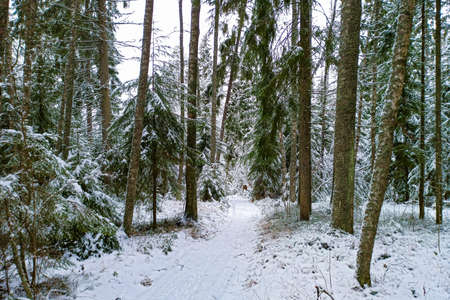 A path among tall fir trees in a winter forest 版權商用圖片