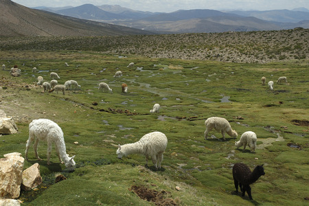 Alpacas on a vast green field in the peruvian mountains photo