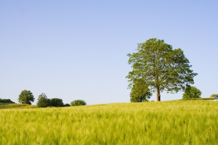 Wheat field with tree and sky. Including copy space. photo