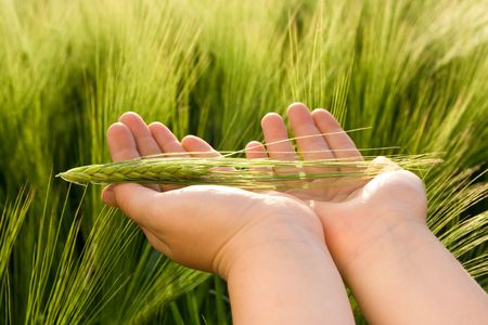 Young farmers hand holding green wheat.  photo