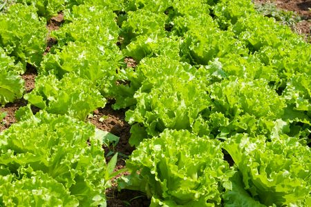 Healthy home lettuce in rows in garden. Stock Photo - 3197258