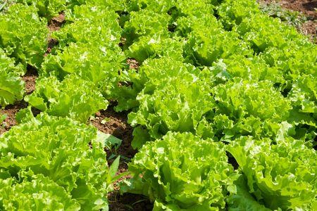 Healthy home lettuce in rows in garden. Stock Photo - 3197258