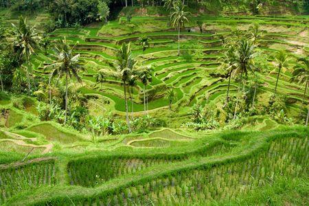 Green classic rice terraces in Indonesia (Bali) Stock Photo - 3763447