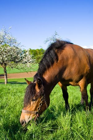 One horse grazing on green meadow. Lots of blue sky for your text. photo