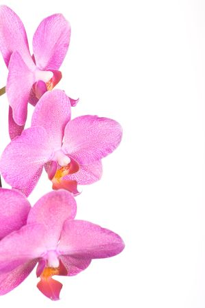 Purple orchid flower isolated on white background.