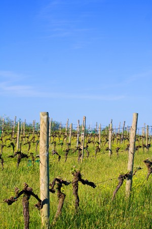 Typical Tuscany landscape - vineyard in spring (Val d Orcia). photo