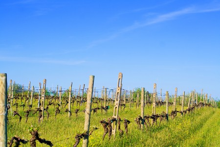 val d orcia: Typical Tuscany landscape - vineyard in spring (Val d Orcia).