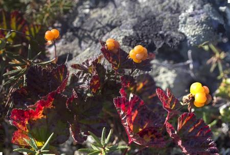 chicouté: Cloudberry moroshka mountains stone Urals