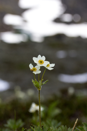 The mountain anemone biarmia in spring in Urals Stock Photo