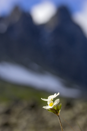 The mountain anemone biarmia in spring in Urals Фото со стока