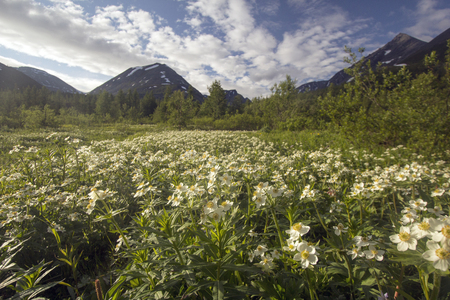 The mountain anemone (anemone biarmia) blooms in spring in Urals