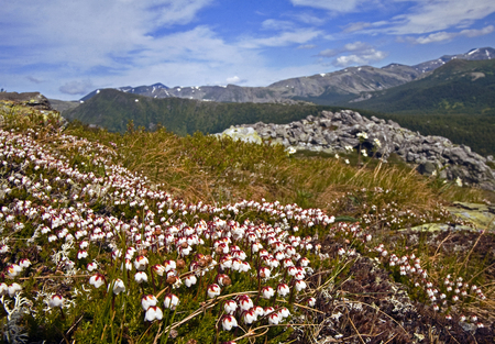 The mountain meadows blooms in spring in Subpolar Urals