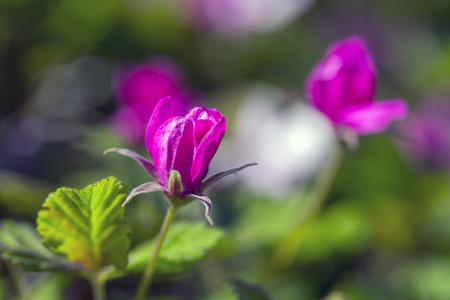 ural: Rubus arcticus berries in Ural Mountains