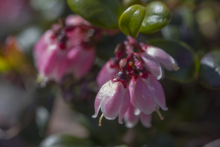 mountain cranberry: lingberry flowers and berries in Ural Mountains Stock Photo