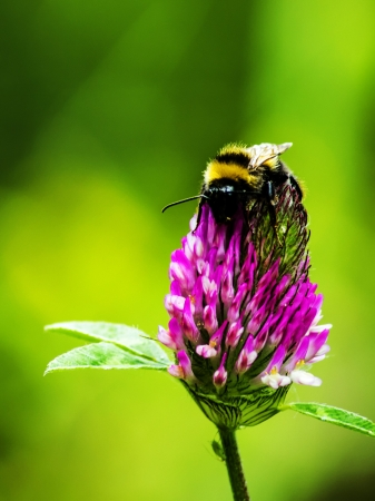 Bumblebee on clover flower  photo