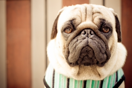 Sad pug wearing blue cloth