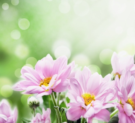 field of flowers: beautiful pink flowers in the garden Stock Photo