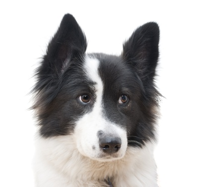 Black and white dog in fornt of a white background Stock Photo - 9115130