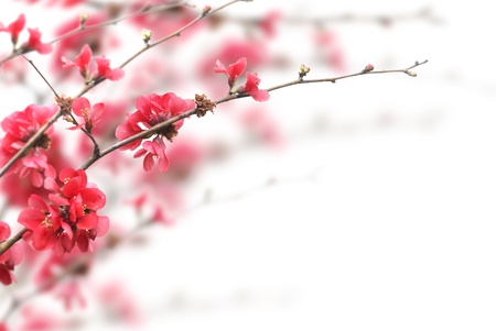 copyspace: Beautiful pink cherry blossoms