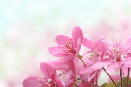 fleur de cerisier: Vue rapproch�e de belles fleurs roses dans le jardin Banque d'images