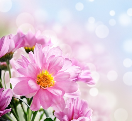 closeup of pink daisy with: Closeup of beautiful pink flowers in the garden Stock Photo