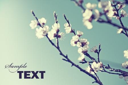 Cherry blossom in retro style Stockfoto