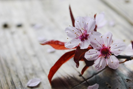 Spring blossom on rustic wooden plank photo