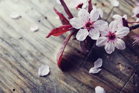 cerisier fleur: Fleur de printemps sur la planche en bois rustique Banque d'images
