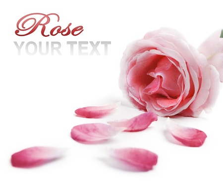 Pink rose and rose petals over white background