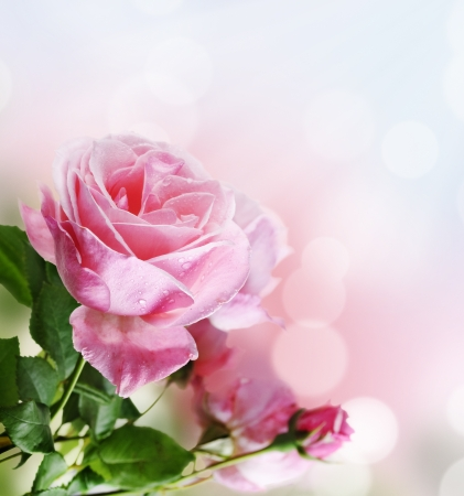 庭に美しいピンクのバラ 写真素材
