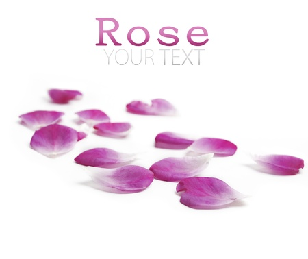 Pink rose petals over white background