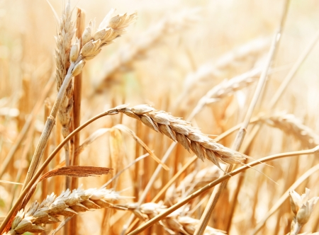Closeup of wheat ear in field photo