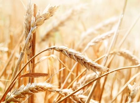cosecha de trigo: Primer plano de espiga de trigo en el campo Foto de archivo