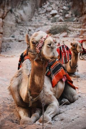 east riding: Camels in town of Petra, Jordan